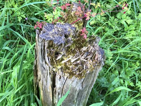 Tree stump being reclaimed by the forest